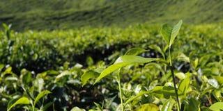 Heuvels van theeaanplanting in Maleisië stock foto's