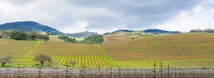 Heuvels in wijngaarden in Sonoma-Vallei aan het begin van de lente, Californië worden behandeld dat royalty-vrije stock foto's