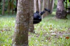 Hevea brasiliensis drzewo Zdjęcia Royalty Free