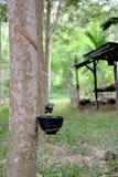 Hevea brasiliensis drzewo Zdjęcie Stock