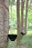 Hevea brasiliensis drzewo Fotografia Stock
