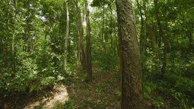 Hevea plantation. Thailand, Phuket island stock footage
