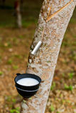 Hevea sap. Milk of rubber tree flows into a  bowl Stock Images