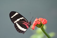 A Hewitson's longwing butterfly Royalty Free Stock Photo