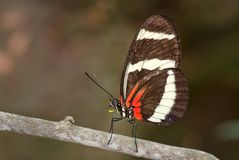 Hewitson ` s Longwing, Heliconius hewitsoni - Fotografia Stock