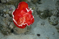 hexabranchus hiszpański sangeuineus tancerkę. Zdjęcie Royalty Free