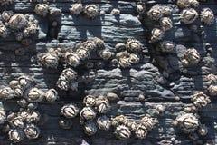 Hexacorallia sea anemones, marine life, animals living in the ocean, background Royalty Free Stock Image