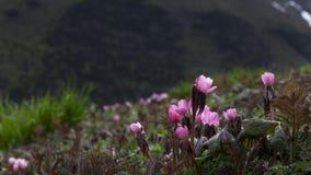 Hexandrum Royle Ying di Sinopodophyllum Fotografia Stock