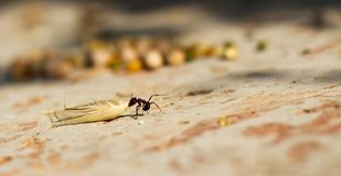 Hey муравей волоча семя овса стоковое фото rf
