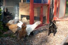 Hey cane!  Non siete un pollo!! Fotografia Stock Libera da Diritti