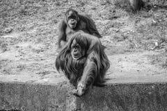 Hey, dê-me o dinheiro Macaco imagem de stock royalty free