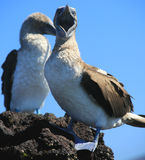 Hey!. Galapagos Island Blue-footed Booby royalty free stock images