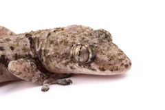 Hey gecko Royalty Free Stock Photo