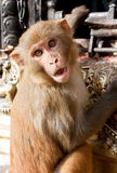 Hey guy. Monkey at Swayambhunath temple,Nepal Stock Image