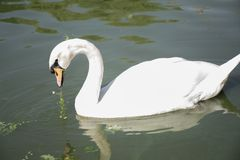 hey look the swan eye stock photography