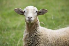 Hey oveja fotos de archivo