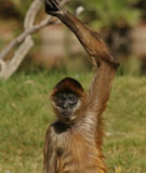 Hey, Over Here!. Spider Monkey Tries to Get Treats royalty free stock photo