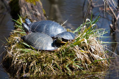 Hey, We're Bein' Followed!. A turtle family sunning together stock photo