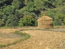 Hey stock on a rice field, Nepal Royalty Free Stock Photos