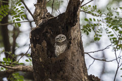 Hey, what's up?. Spotted owlet with upset face Stock Image