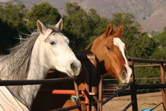Hey where's dinner!. 2 horses at fence looking out royalty free stock photography