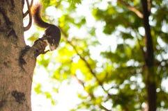 Hey yo mim squirrell do ` m Imagem de Stock Royalty Free