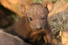 Heyena Cub Royalty Free Stock Photo