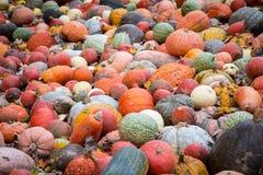 Hög av stora färgrika pumpor, naturlig matbakgrund Royaltyfria Foton