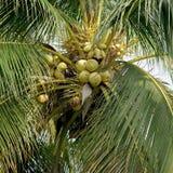 Hög av unga kokosnötter på träd Fotografering för Bildbyråer