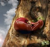 Hígado Imagen de archivo libre de regalías