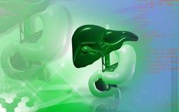 Hígado y estómago Imagenes de archivo