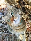 Höglands- lodjur Cat Cute Expression Arkivfoton