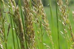 Högväxt gräs och ogräs i ängen Arkivbilder