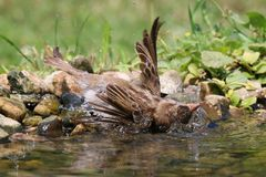 Hhe sparrow is bath on a hot summer day in refreshing water stock photo