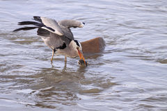 Hheron catches a fish Royalty Free Stock Photo