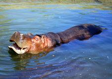 Hhippopotamus laughing in the blue water Royalty Free Stock Photography