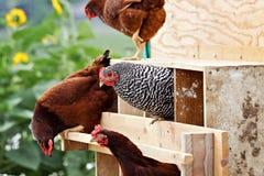 Hühner Lizenzfreies Stockbild