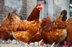 Hühner auf traditioneller Freilandgeflügelfarm Stockfotografie