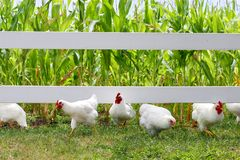 Hühner und Hähne, die unter Zaun laufen Lizenzfreies Stockbild