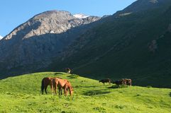 The hi-altitude pasture in Kyrgyzstan. Horses and cows Stock Photo