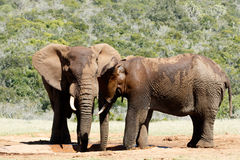 Hi Brother - Two male African Bush Elephants Stock Images