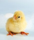 Hi chick! Royalty Free Stock Image