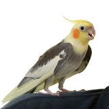 Hi from Cockatiel. On white Royalty Free Stock Photo
