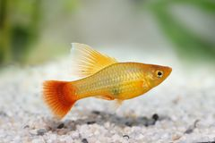 Hi Fin Platy platy male Xiphophorus maculatus tropical aquarium fish. Fish stock image