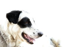 Hi-key images of Pedigree Dogs.  royalty free stock images