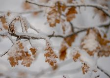 Hi-res oak leaves in snow Oak leaf in the snow royalty free stock photos