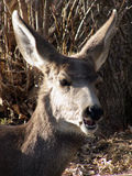 Hi There. Yearling mule deer extending friendly greetings in the brush royalty free stock images