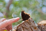 Hi, there. An individual reaches out to touch the antennae of a Mourning Cloak butterfly that is sitting on a sap covered tree stump stock image