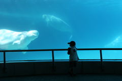 Hi There Beluga. Silhouette of a Child watching a Beluga whale Stock Photo