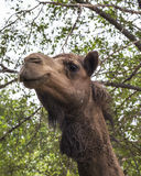 Hi There. Camel standing in the shade of trees Stock Photo